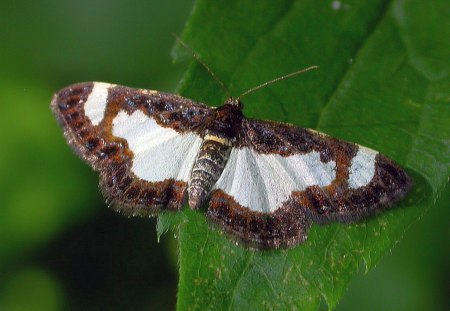 Beautiful Moth - Picture, Beautiful, Cool, Moth