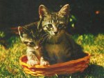 Maine Coon kittens in a basket