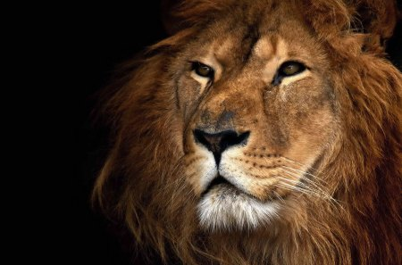 Facts about lions for kids - ALERT | African Lion &amp- Environmental ...