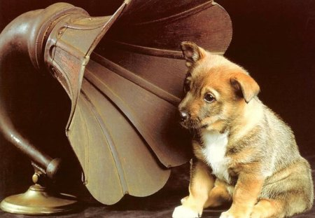 Dog listening music - animal, music, puppy, dog, sweet, phonograph