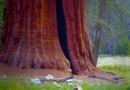 Sequoia National Park, California - forest, trees, tall, national park