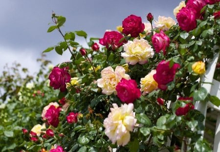 beautiful garden of roses - flowers, garden, nature, roses