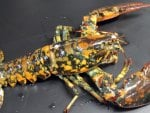 Very rare Calico Lobster
