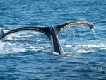 Tail of Humpback Whale Queensland Australia