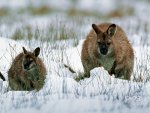 Wallaby,With,Joey,In,Snow,Tasmania