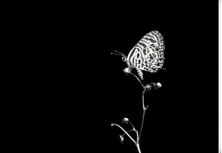 My World In Black And White Butterflies Animals Background Wallpapers On Desktop Nexus Image 1308603