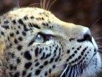 ~ღ♥  Soraya Leopard ♥ღ~