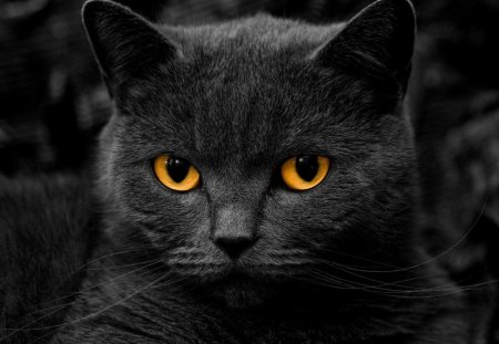 Comments On Beautiful Black Cat Cats Wallpaper Id 1311350
