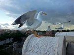 seagull at rome