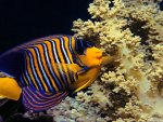 Royal Angelfish and Corals