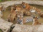Bathing Tigers