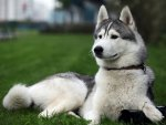 ~Curious Husky~