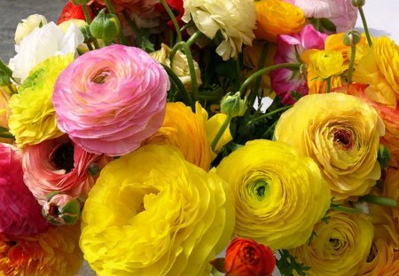Ranunculus - red, colorful, plant, yellow, beautiful, delicate, bouquet, flower, garden, nature, pink