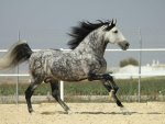 Dappled Grey Andalusian