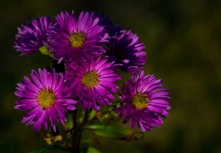 Livingstone Daisies - colorful, colourful, high resolution, plant, dslr, 60d, flower, garden, petals, scotland, pink, daisy
