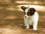 Adorable Papillon Puppy