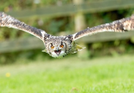 owl - grass, birds, fly, owl