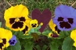 Pansy Family Portrait