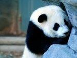 Naughty panda  :)