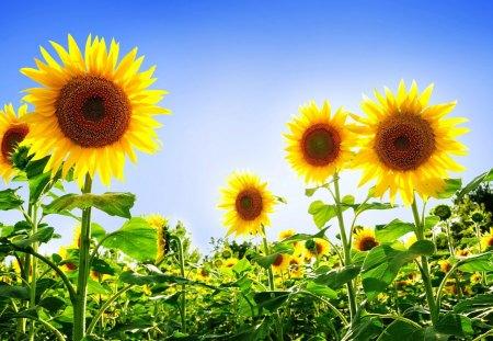 Sunflower Field Flowers Nature Background Wallpapers On Desktop Nexus Image 1324416