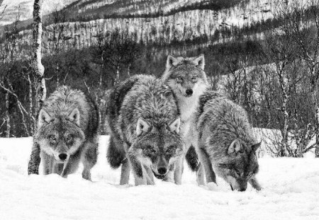Black And White Wolf Pack Dogs Animals Background Wallpapers On Desktop Nexus Image 1324678