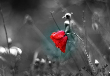 * - red, poppy, individually, duotone, abstract, photography, wp, bw, flower, beauty, nature