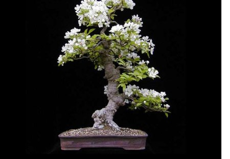Bonsai - tree, Bonsai, flowers, white, small