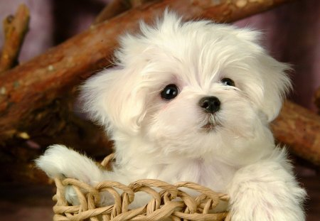 Cute white puppy - lovely, sweet, dog, animal, puppy, nice, look, paws, white, adorable, basket, pretty, beautiful, cute, fluffy, photo