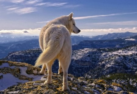 the great white wolf. - white, animals, wolf, nature