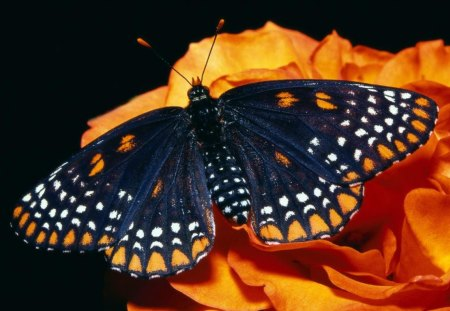 Beautiful butterfly - insect, nature, butterfly, spots