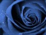 Blue Rose Upclose