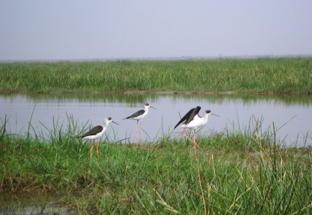 Black-winged Stilt - bomen, detrta, mamta, fuji