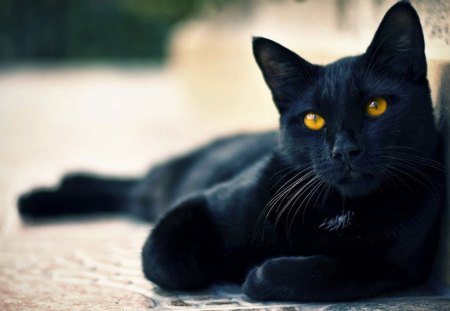Black Cat - lovely, beautiful, Black, cat, sweet