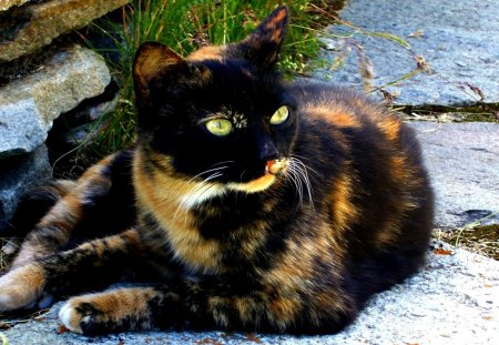 my name is cally I am loveable - cute, calico, breed, cat