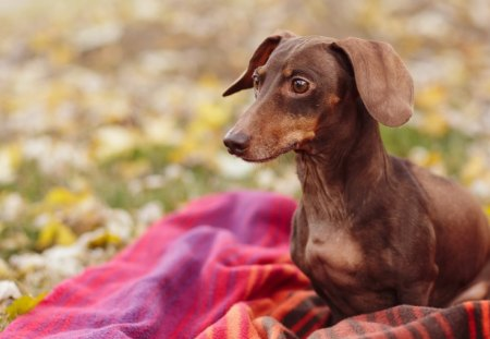 *** Dachshund *** - lovers, dachshund, animals, dog