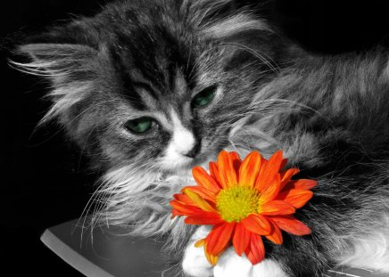 Adorable Cat - pretty, kitty, adorable, cat eyes, cat, cat face, sweet, cute, paws, flower, gerbera, kitten, eyes, cats, daisy, animals