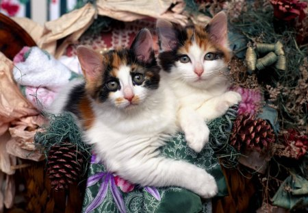 Maine Coon Kittens at Christmastime - Cats & Animals