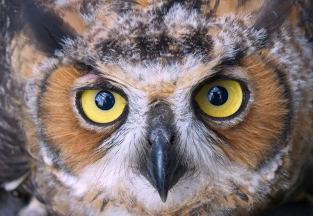 Great Horned Owl - owl, fly, great horned owl, bird, up close, hoot, animal