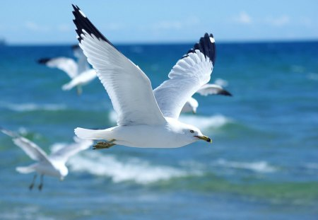 Sea Gulls - beach, fly, water, bird, flying, sea gulls, gull, gulls