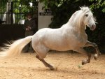 Powerful Grey Andalusian