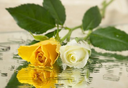 Roses - withe, lovely, flowers, yellow, soft, roses, reflection