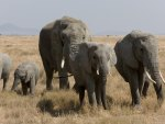 African Bush Elephant Family
