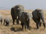 African Bush Elephant Family