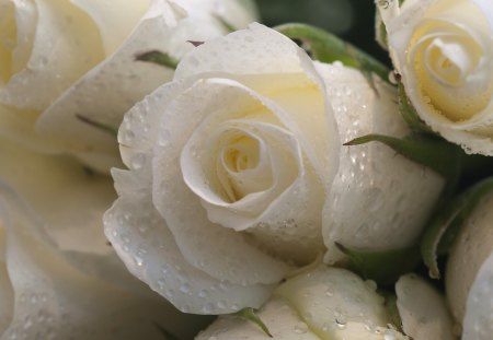 Withe Roses - withe, lovely, beauty, soft, roses, delicate, purity