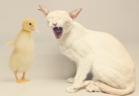 Don't cry, kitty! - white, cat, funny, cry, cute, yellow, bird, animal, tears, duck, kitten
