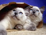 kitties in a bag