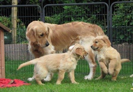 Golden Retrievers Family Dogs Animals Background Wallpapers On Desktop Nexus Image 1346869