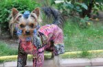 *** Yorkshire Terrier ***