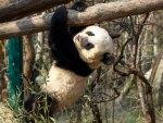 *** Panda ***