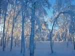 forest in blue winter